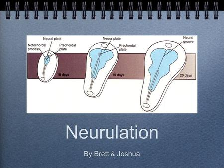 Neurulation By Brett & Joshua. These slides will be uploaded after tonights session. Please see presenter notes under the slides for a description of.