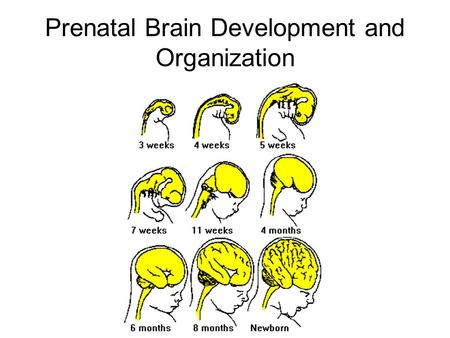 Prenatal Brain Development and Organization. Formation of Neural Tube Three primordial tissues –endoderm –mesoderm –ectoderm Which tissue does nervous.