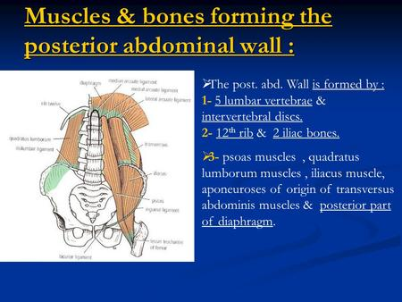 Muscles & bones forming the posterior abdominal wall :  The post. abd. Wall is formed by : 1- 5 lumbar vertebrae & intervertebral discs. 2- 12 th rib.