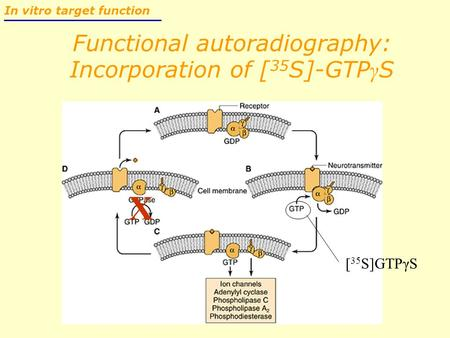 Functional autoradiography: Incorporation of [ 35 S]-GTP γ S In vitro target function [ 35 S]GTPγS X.