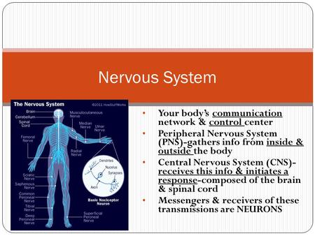 Nervous System Your body's communication network & control center Peripheral Nervous System (PNS)-gathers info from inside & outside the body Central Nervous.