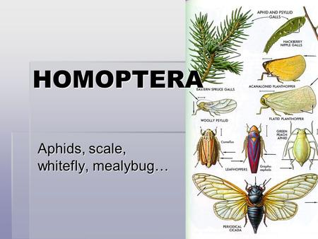 Aphids, scale, whitefly, mealybug… HOMOPTERA.   0511.html  0511.html