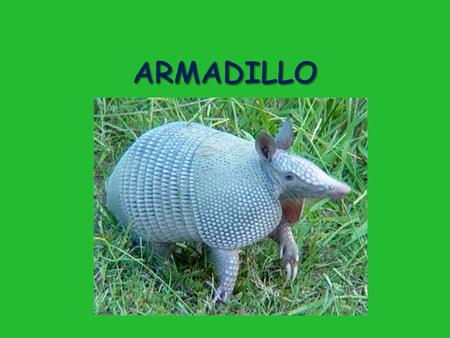 " Armadillo is Spanish for ""little armored one""  Known for their leathery shell  Placental mammal = just like us!  Only surviving member of their Order."