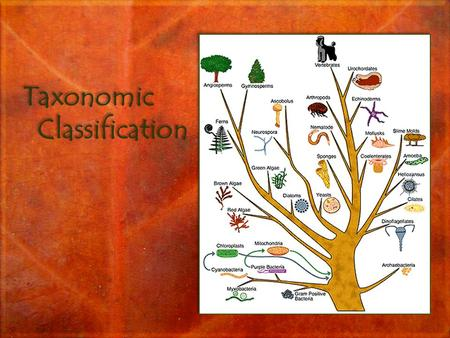 Taxonomic <strong>Classification</strong>. Objectives Outline the binomial system of nomenclature. List seven levels in the hierarchy of taxonomy – <strong>kingdom</strong>, phylum, class,