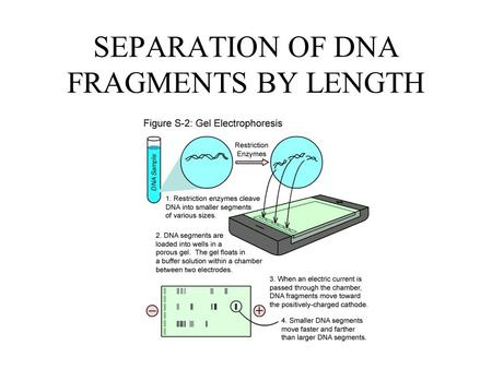 SEPARATION OF DNA FRAGMENTS BY LENGTH. Organic molecules such as DNA are charged. DNA is negatively charged because the phosphates (red circles) that.