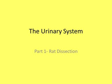 The Urinary System Part 1- Rat Dissection.