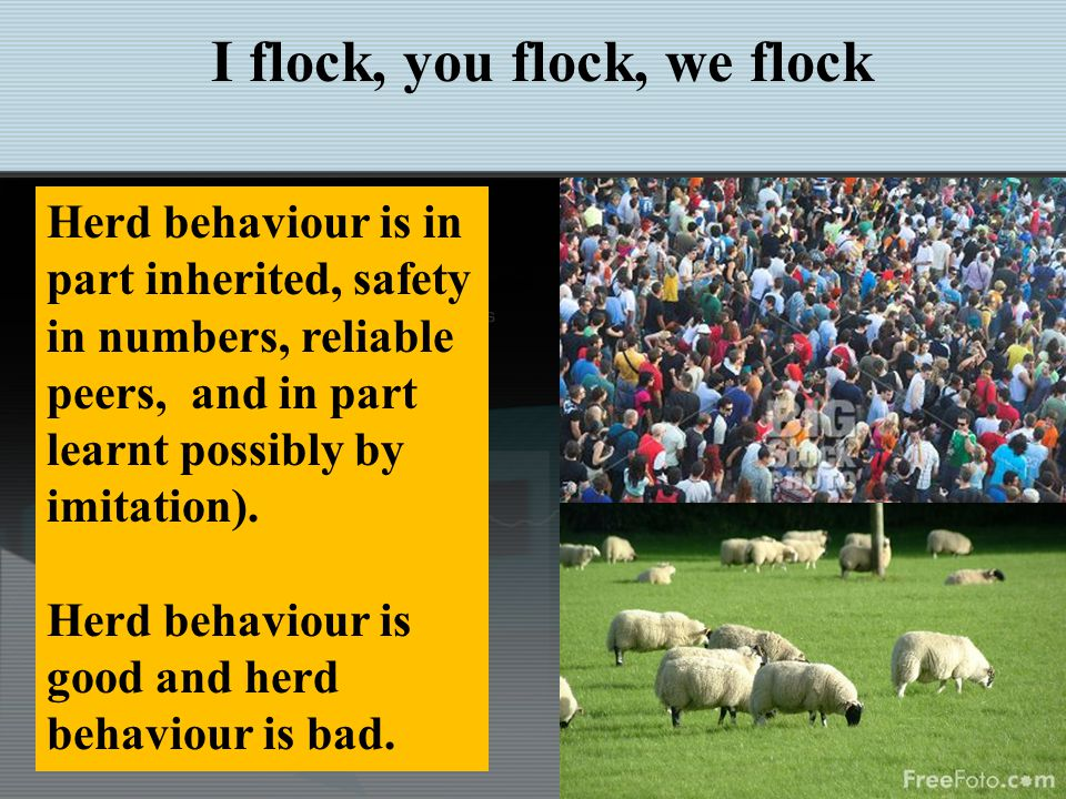 http://en.wikipedia.org/wiki/Herd_behavio Herding Basics and Migrating Flocks Herd behavior describes how individuals in a group can act together without planned direction.