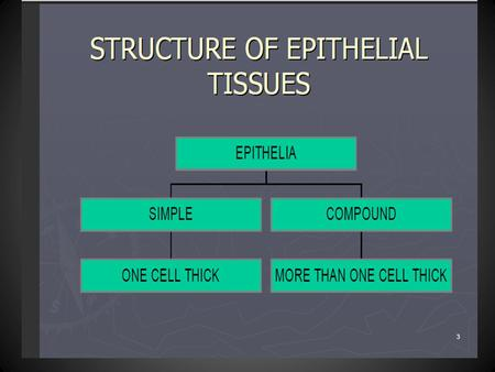 1 Structure of Epithelial Tissues ONE CELL THICK SIMPLE MORE THAN ONE CELL THICK COMPOUND EPITHELIA.
