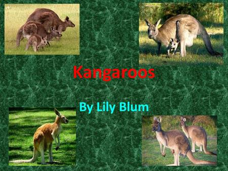 By Lily Blum Kangaroos. Table of Contents Habitat Sweet Habitat…………..page 2 Eye of the Tiger…………….page 4 Kangarooistics……………page 6 The Circle of Life………..page.