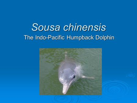 Sousa chinensis The Indo-Pacific Humpback Dolphin.
