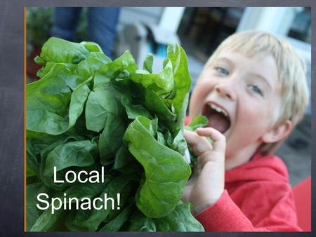 Local Spinach!. Spinach: a cool weather crop We can have fresh, local spinach in May in Whatcom County because it grows here all winter long. That's handy!