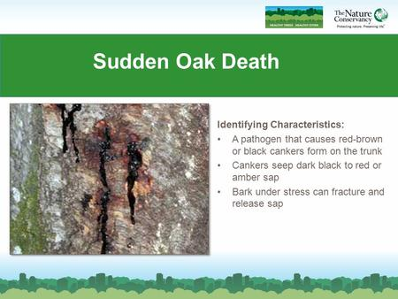 Sudden Oak Death Identifying Characteristics: