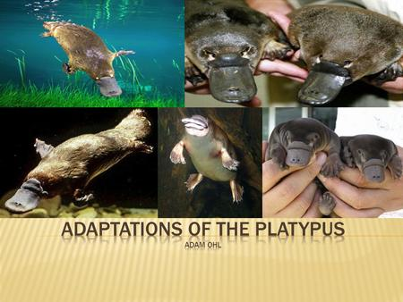 Adaptations of the Platypus adam Ohl