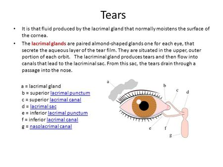 Tears It is that fluid produced by the lacrimal gland that normally moistens the surface of the cornea. The lacrimal glands are paired almond-shaped glands.
