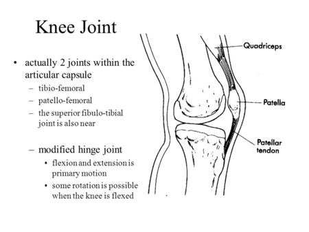 Actually 2 joints within the articular capsule –tibio-femoral –patello-femoral –the superior fibulo-tibial joint is also near –modified hinge joint flexion.