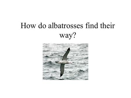 How do albatrosses find their way?. Question Albatrosses usually breed on small islands and spend much time flying over open ocean in search for food.