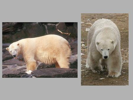 Polar Bear Ursus maritimus Arctic and Marine Habitat Largest land predator but spends much of its time in the arctic ocean. Lives in one of the coldest.