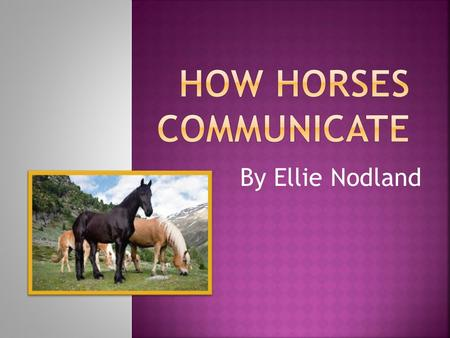 By Ellie Nodland.  Horses neigh when they are trying to locate other horses in their herd. Horses may also neigh when they are brought somewhere they.