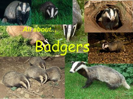 Badgers All about.... Badgers are very shy animals that live in family groups. They are usually nocturnal.