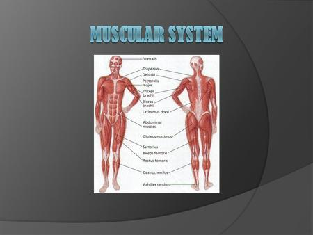 What can our muscles do?  Muscles are capable of moving the bones and organs they are attached to within the body.  Since our muscles are like elastic,