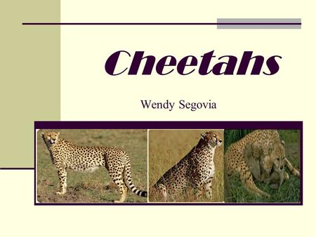 Cheetahs Wendy Segovia. Cheetahs in a hot spot. When it comes to cheetahs, speed kills. Indeed, cheetahs rely on their remarkable acceleration abilities.
