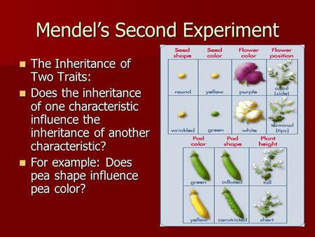 Mendel's Second Experiment The Inheritance of Two Traits: The Inheritance of Two Traits: Does the inheritance of one characteristic influence the inheritance.
