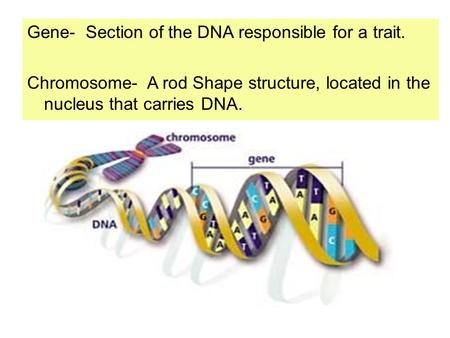 Gene-  Section of the DNA responsible for a trait.