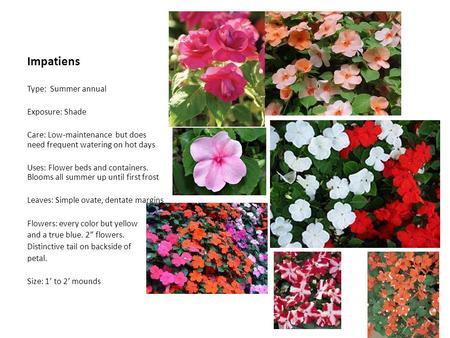 Impatiens Type: Summer annual Exposure: Shade Care: Low-maintenance but does need frequent watering on hot days Uses: Flower beds and containers. Blooms.