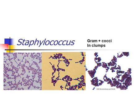 Staphylococcus Gram + cocci In clumps. Staphylococci 3 major species: S.aureus, S.epidermidis, and S.saprophyticus) Infections are primarily associated.