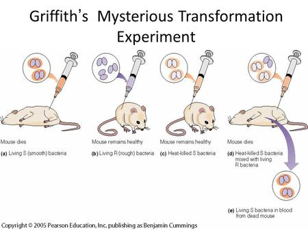 Griffith ' s Mysterious Transformation Experiment.