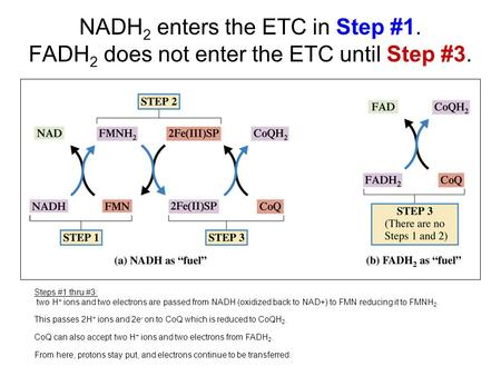 NADH 2 enters the ETC in Step #1. FADH 2 does not enter the ETC until Step #3. Steps #1 thru #3: two H + ions and two electrons are passed from NADH (oxidized.