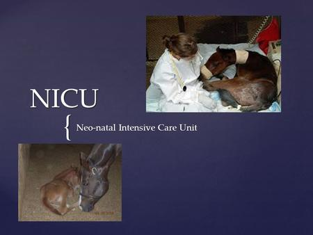 { NICU Neo-natal Intensive Care Unit.  Volunteer program for pre-vet students to work in the foal ICU at the ISU Veterinary College  Help the Vet Med.