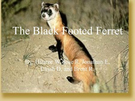 The Black Footed Ferret By: Hilaree W, Jose R, Jonathan E, Elijah D, and Brent R.