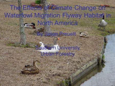 The Effects of Climate Change on Waterfowl Migration Flyway Habitat in North America By Jason Preuett Southern University Urban Forestry.