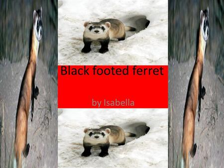 Black footed ferret by Isabella. Name of animal Description Length-18-24 in. Weight-1.5.2.5. lbs. Coloring – changes with seasons? Special features-they.