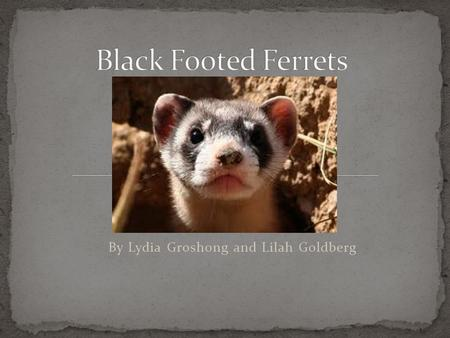 By Lydia Groshong and Lilah Goldberg There are many names for baby animals but black footed ferret ferret babies are called kits. Black footed ferret.