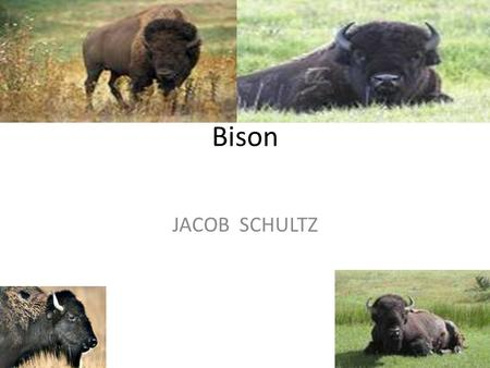 Bison JACOB SCHULTZ. Bison A bison is a mammal A bison has long hair and has horns. The hair is brown and the horns are sharp.