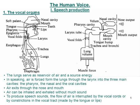 The Human Voice. I. Speech production 1. The vocal organs