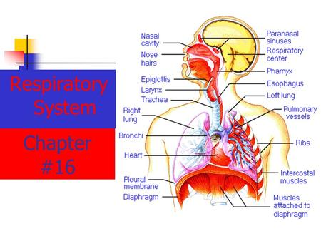 Chapter #16 Respiratory System. Chapter 16.1 Introduction Obtaining oxygen and removing carbon dioxide are the primary functions of the Respiratory System.