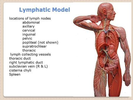 Lymphatic Model locations of lymph nodes abdominal axillary cervical inguinal pelvic popliteal (not shown) supratrochlear thoracic lymph collecting vessels.