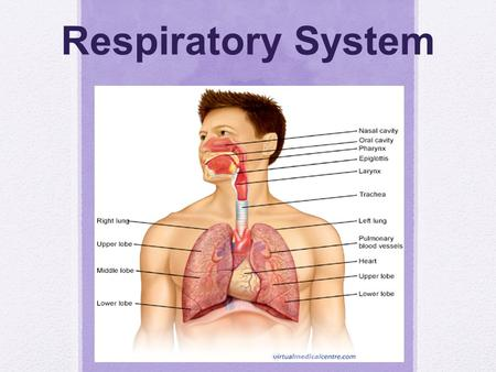 Respiratory System. The Process of Respiration Respiration includes the following processes: 1.) Ventilation, which moves air into and out of the lungs.