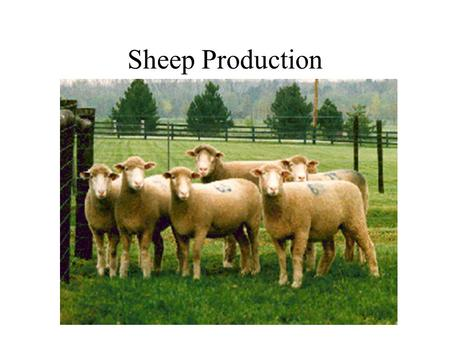Sheep Production.