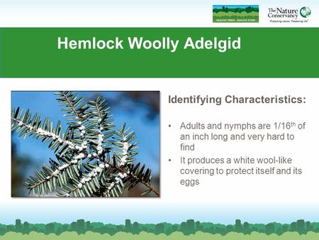 Hemlock Woolly Adelgid Identifying Characteristics: Adults and nymphs are 1/16 th of an inch long and very hard to find It produces a white wool-like covering.