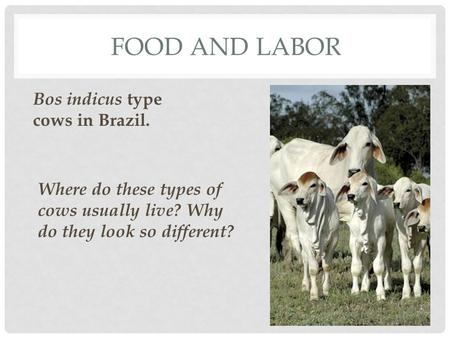 FOOD AND LABOR Bos indicus type cows in Brazil. Where do these types of cows usually live? Why do they look so different?