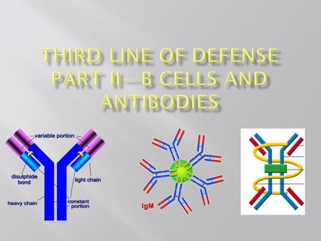 What are antibodies??? F ab sites F c site In B cells, antibodies are bound to the membrane at the F c site. Plasma cells secrete antibodies into the.