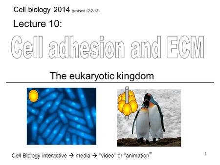 "Lecture 10: Cell Biology interactive  media  ""video"" or ""animation "" The eukaryotic kingdom 1 Cell biology 2014 (revised 12/2-13)"