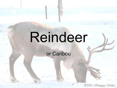 Reindeer or Caribou. What is a reindeer? A reindeer (or caribou) is part of the deer family. They are strong runners and good swimmers. Caribou can run.