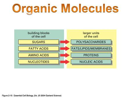 Organic Molecules Carbon = building block of organic molecules Carbon is unique – Unstable: 2 nd level not full – Will bond up to four times 1 2 3 4.