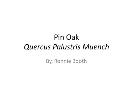 Pin Oak Quercus Palustris Muench