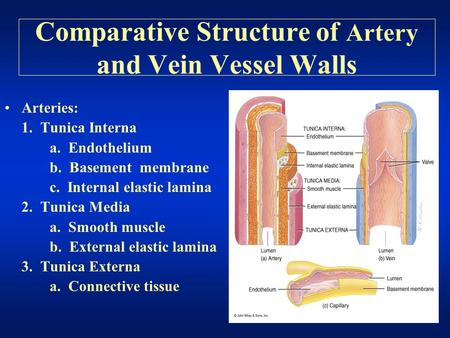 Comparative Structure of Artery and Vein Vessel Walls